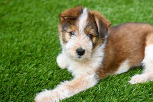 Is artificial turf safe for dogs?