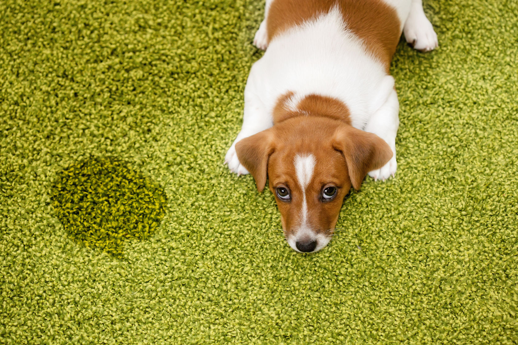 Can dogs pee and poop on artificial grass? We tell you the